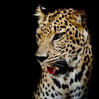 Заставка портрет леопард леопард скачать бесплатно