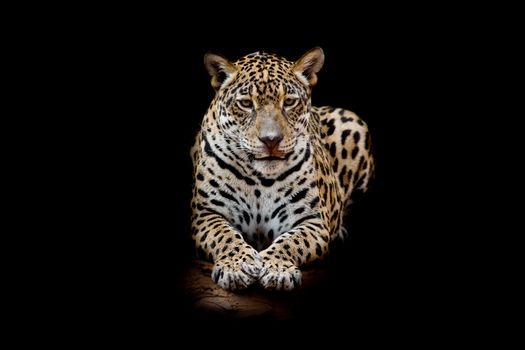 Бесплатная картинка семейства кошачьих, леопард портрет
