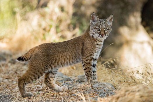 Lynx - a big cat · free photo