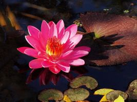 Бесплатные фото водоём,водяная лилия,цветок,флора,макро