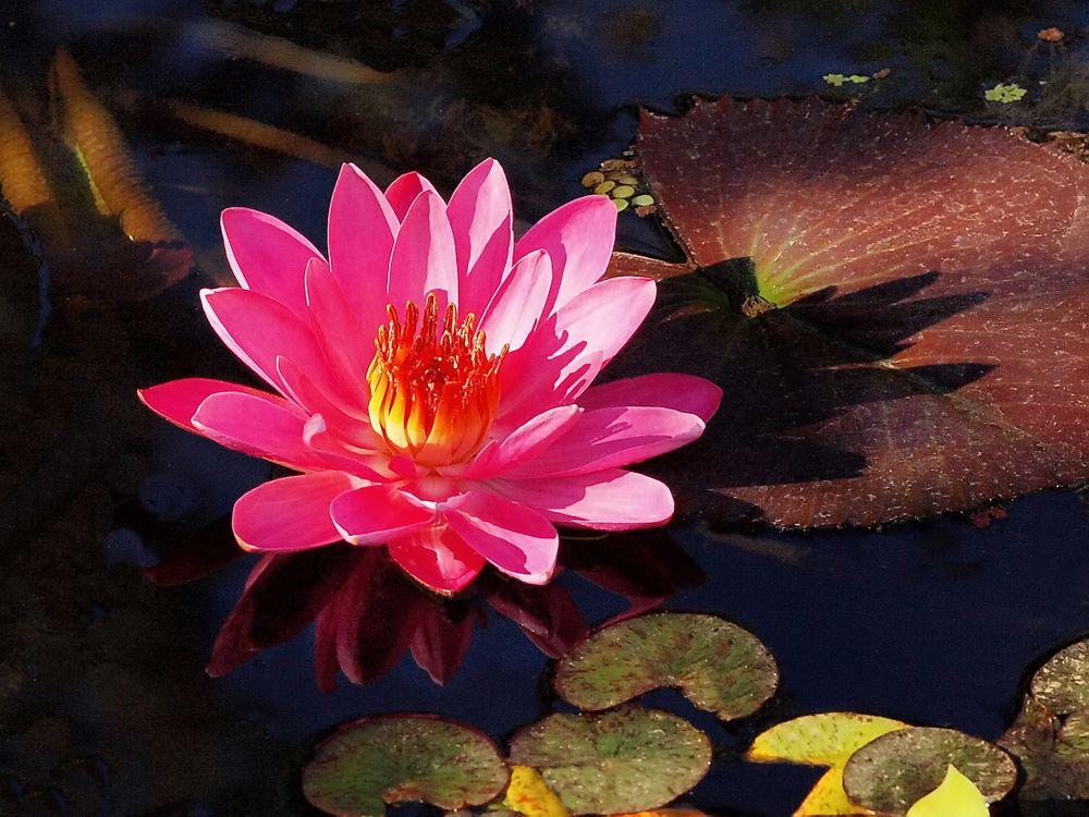 Фото бесплатно водоём, водяная лилия, цветок, флора, макро, цветы