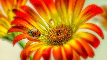 Бесплатные фото цветок,гербера,гербер,флора,макро,божья коровка,насекомое