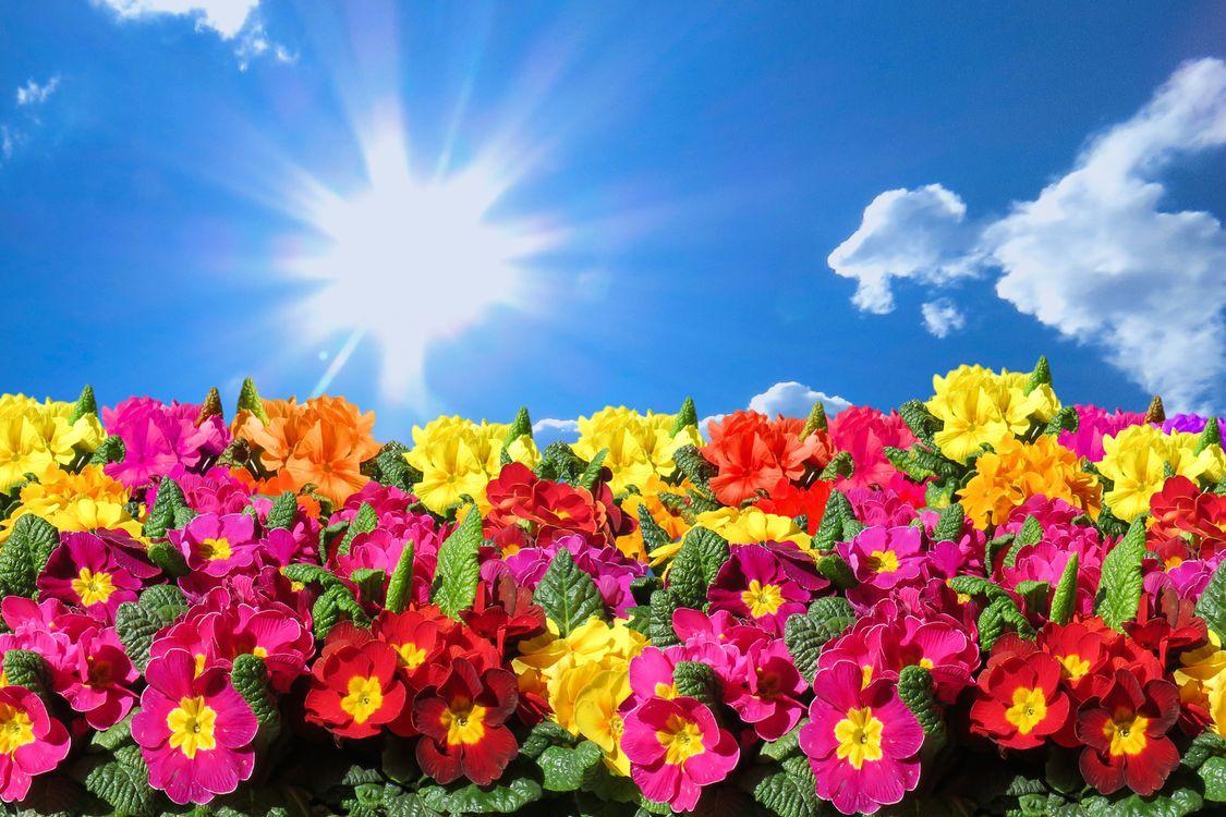 Фото бесплатно цветок, примула, первоцвет, нарцисс, небо, поле, флора, цветы