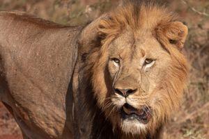 Бесплатные фото Африка,лев,хищник,животное,взгляд,портрет