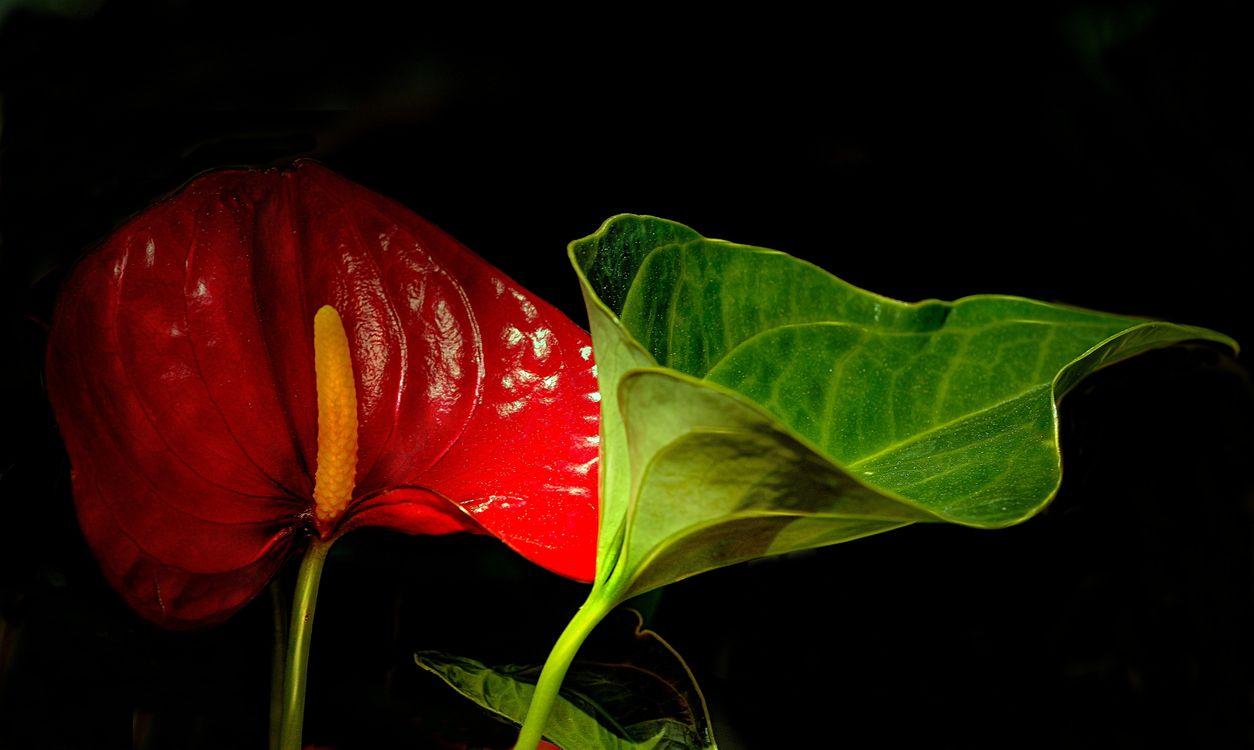 Обои Cala, Flamingo Flower, Калла Фламинго, Антуриум цветок фламинго, цветок, флора, чёрный фон на телефон | картинки цветы
