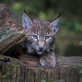 Заставки большая кошка, взгляд, животное