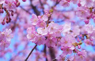 Заставки весенняя природа,листочки,вишня,лепестки,цветущая ветка,цветы,sakura