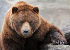 Медведь и его когти · бесплатное фото