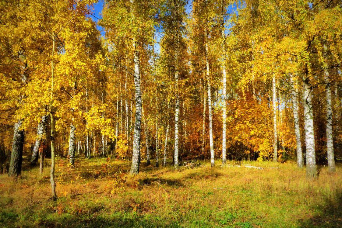 Фото бесплатно осень, березы, листья березы - на рабочий стол