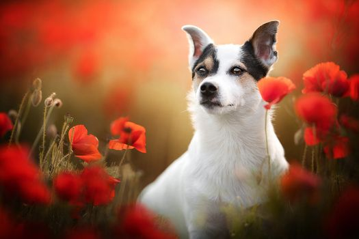 Dog with red poppies · free photo