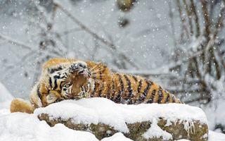Тигр нежится на снегу