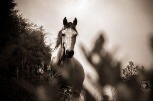 Фото бесплатно лошади, монохром, черно-белые