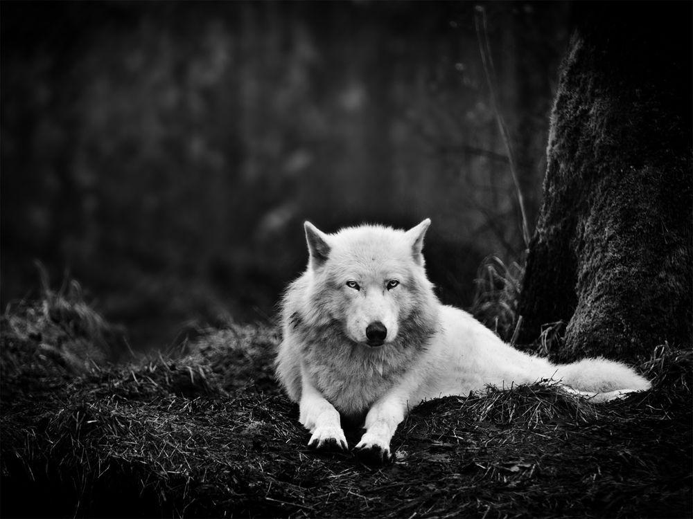 Фото бесплатно белый, волк отдых, лес - на рабочий стол