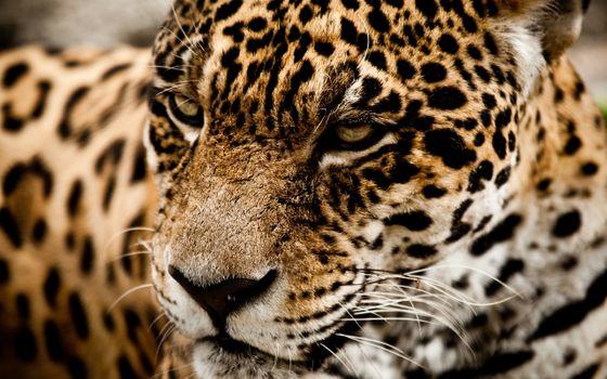 Фото бесплатно кошка, ягуар, морда