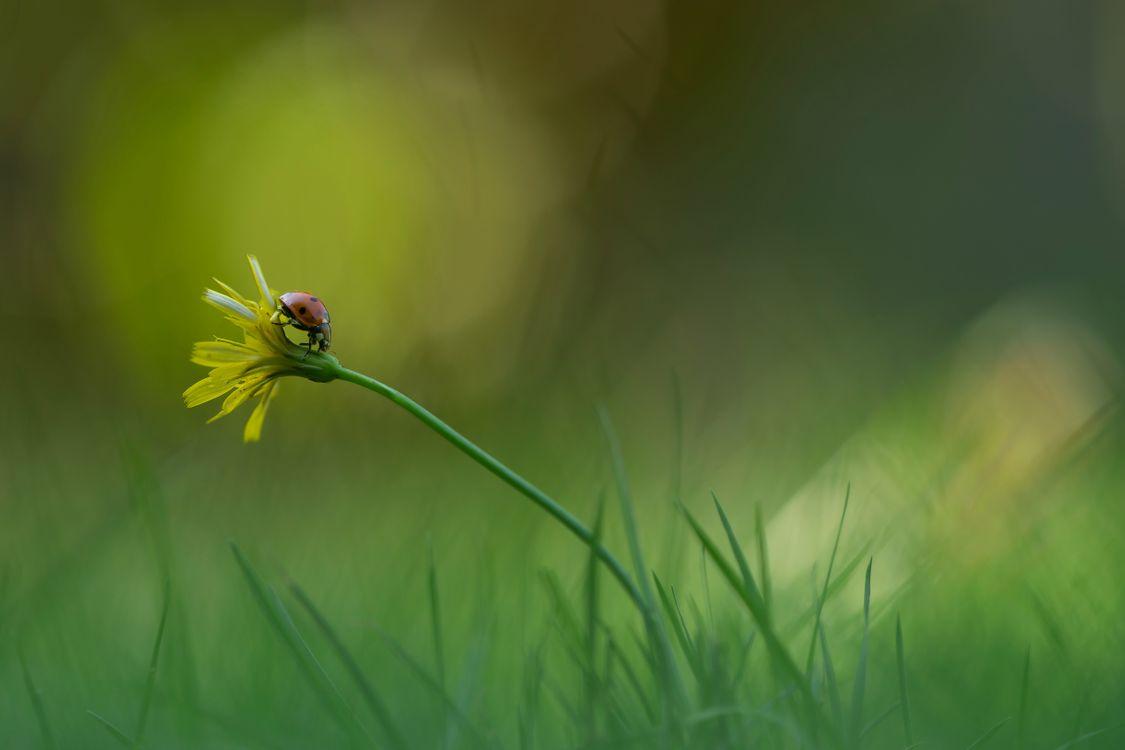 Фото бесплатно цветок, божья коровка, трава - на рабочий стол