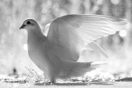 Фото бесплатно белый голубь, брызги воды, перья
