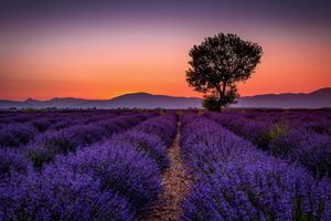 Бесплатные фото поле,лаванда,лавандовое поле,цветы,закат,восход,Прованс