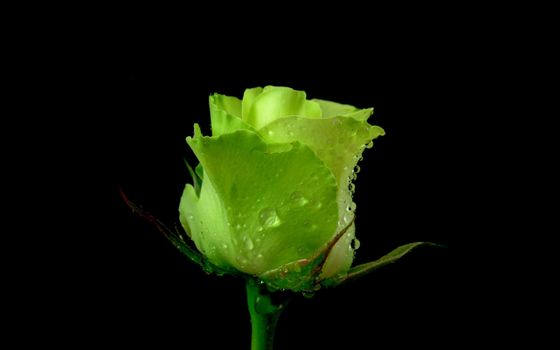 Заставки зеленая роза, роса, капли
