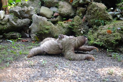 Photo free sloths, baby sloth, crawling on the ground