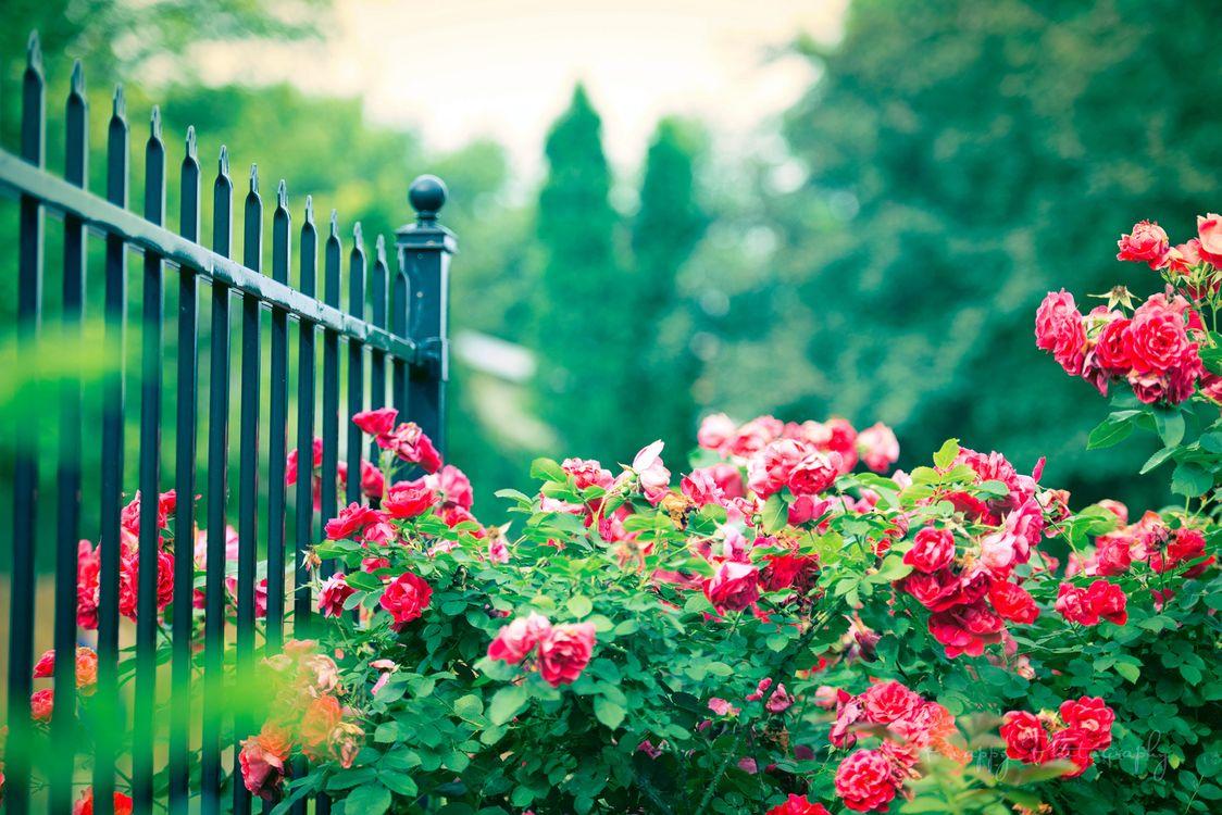 Фото бесплатно куст, забор, цветы - на рабочий стол