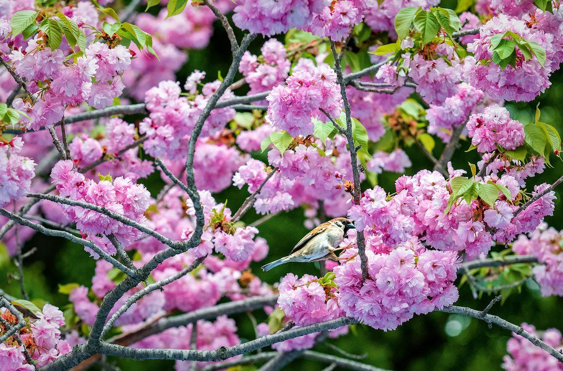 Фото бесплатно Cherry Blossom, Сакура, весна, цветение, цветущая ветка, цветы, флора - на рабочий стол