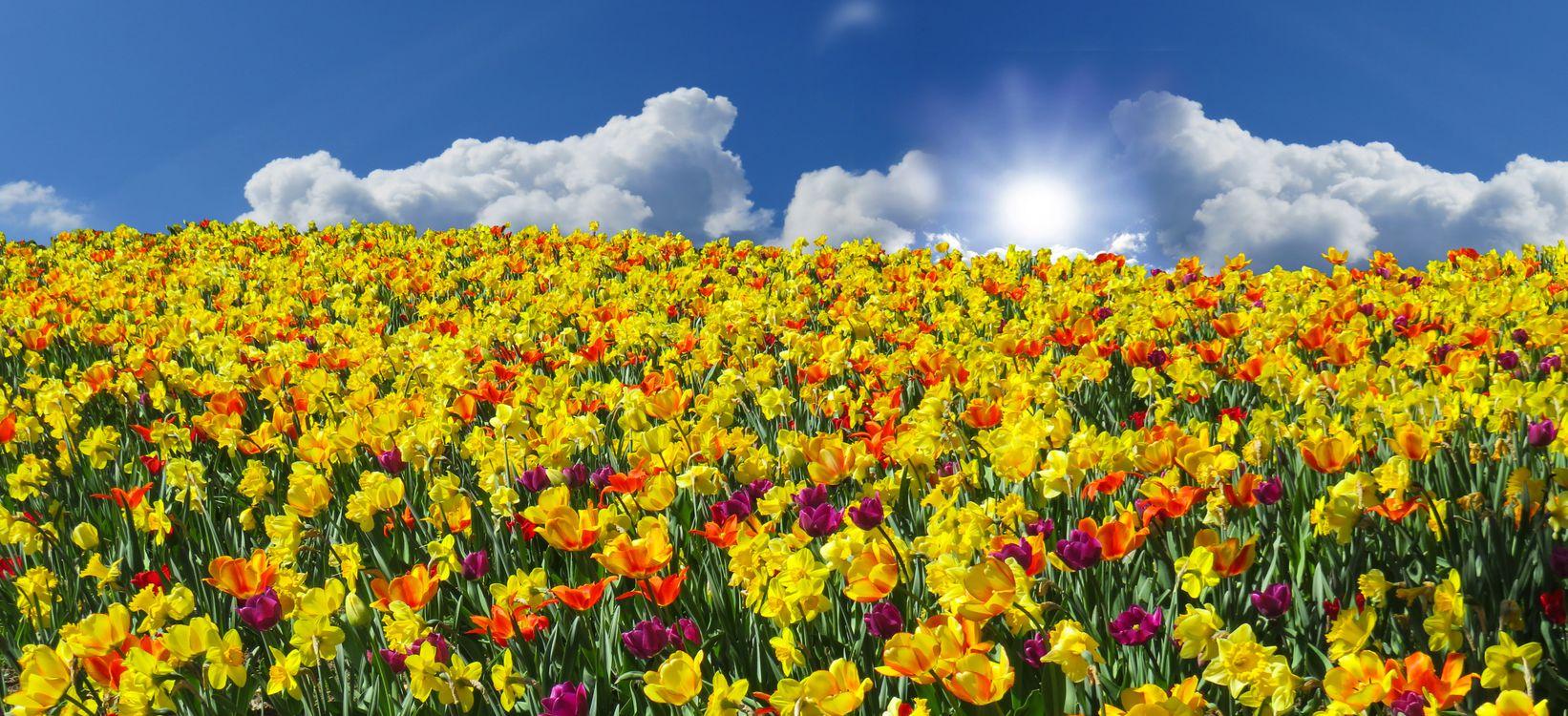Фото бесплатно поле, тюльпаны, нарциссы, цветы, небо, облака, панорама, флора, цветы