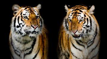 Заставки тигр, портрет тигра, хищник