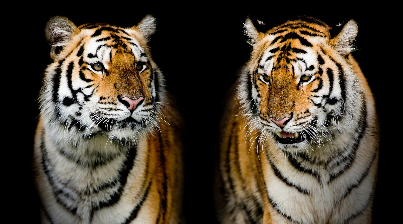 Обои тигр, портрет тигра, хищник картинки на телефон