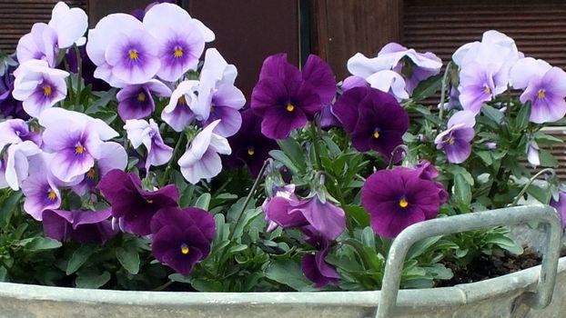 Бесплатные фото tsvety,aniutiny glazki,lepestki,priroda,клумба,цветы