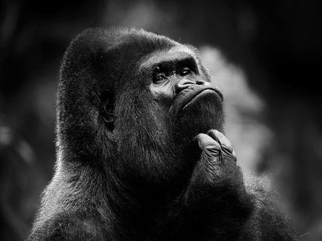Обои на стол горилла, примат