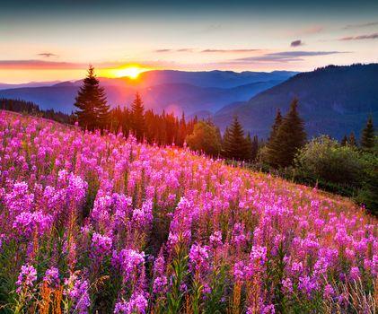 Иван-чай, освещенный утренним солнцем · бесплатное фото