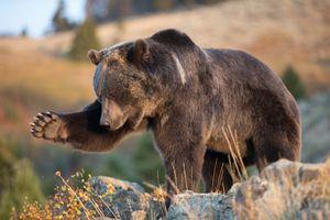 Заставки камень, гризли, медведь