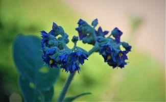 Бесплатные фото нувара элия,синий,флора,цветок,растение,дикий цветок,макросъемка