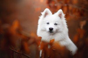 Самоедик на фоне осенней листвы