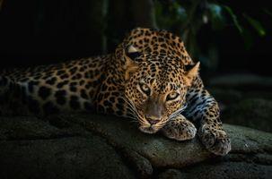 Задумчивый леопард · бесплатное фото