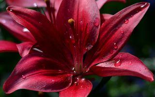 Фото бесплатно красная лилия, капли воды, лепестки