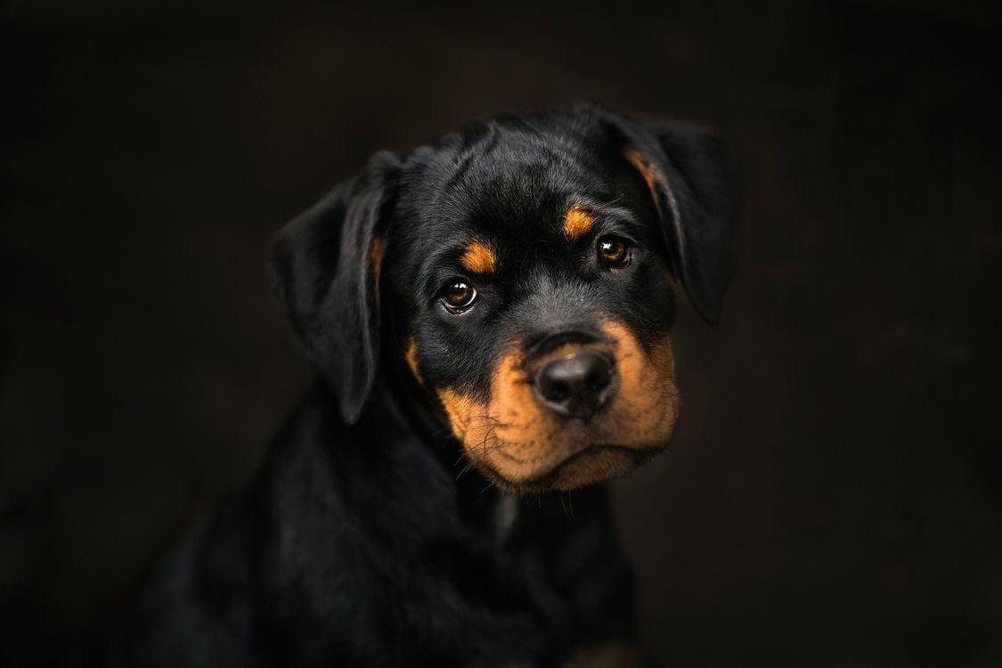 Фото бесплатно Ротвейлер, щенок, мордашка - на рабочий стол