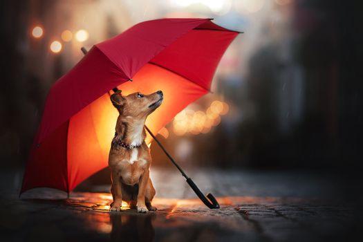 Chihuashka under an umbrella · free photo