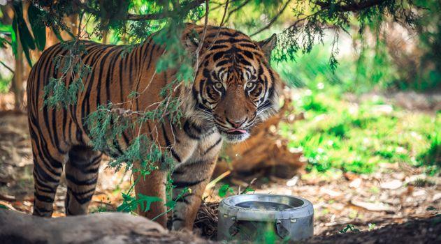 Фото бесплатно поза, тигр, взгляд