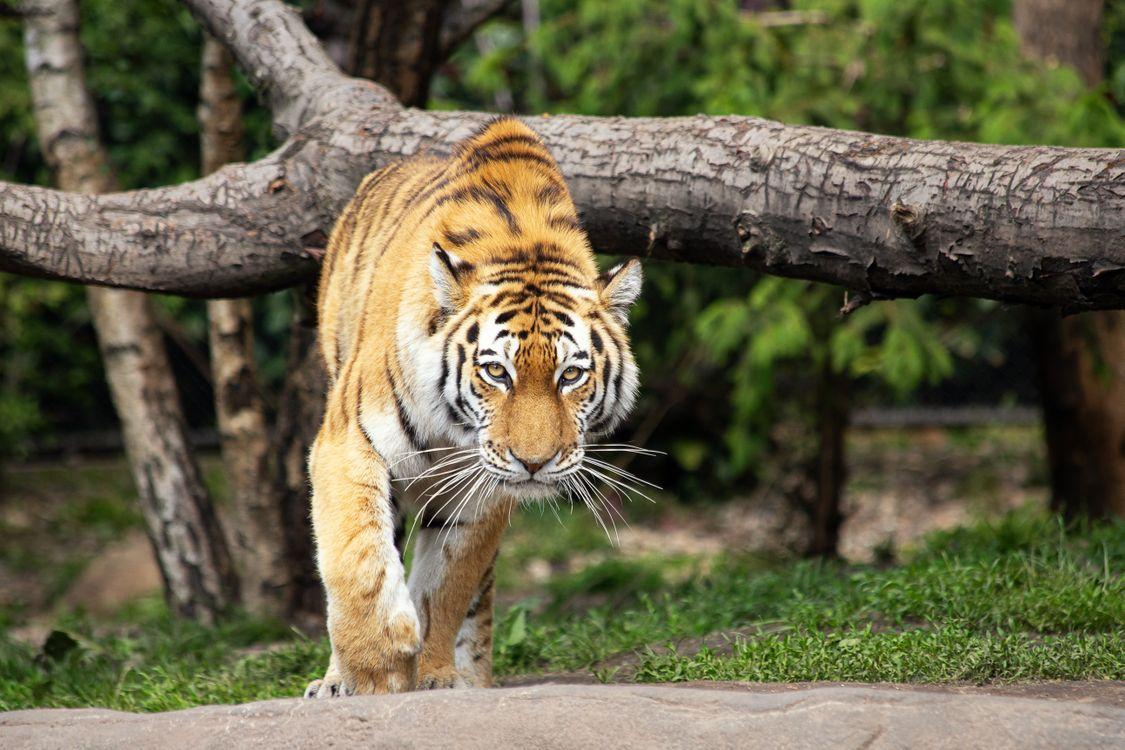 Фото бесплатно tiger, siberian tiger, mammal, animal, animal world, big cat, dangerous, carnivores, zoo, hagenbeck zoo, животные