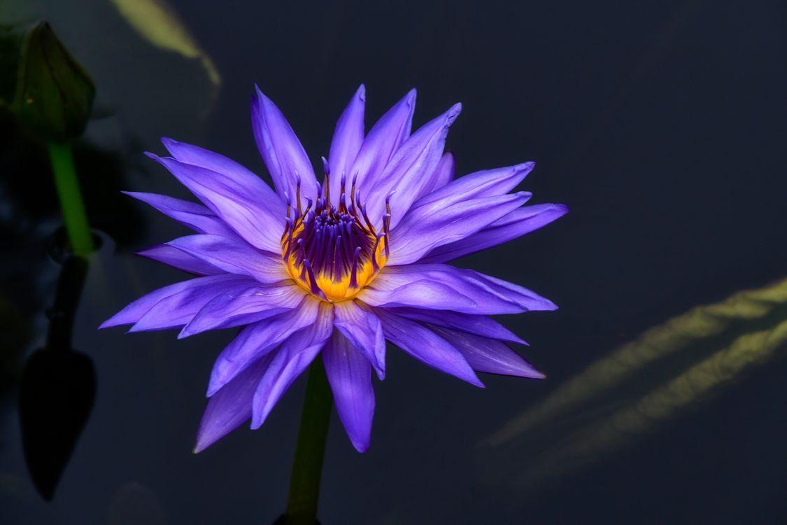 Фото бесплатно водоём, водяная лилия, водяные лилии, цветок, цветы, флора, цветы