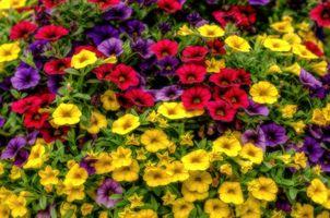 Петуния разноцветные цветы · бесплатное фото