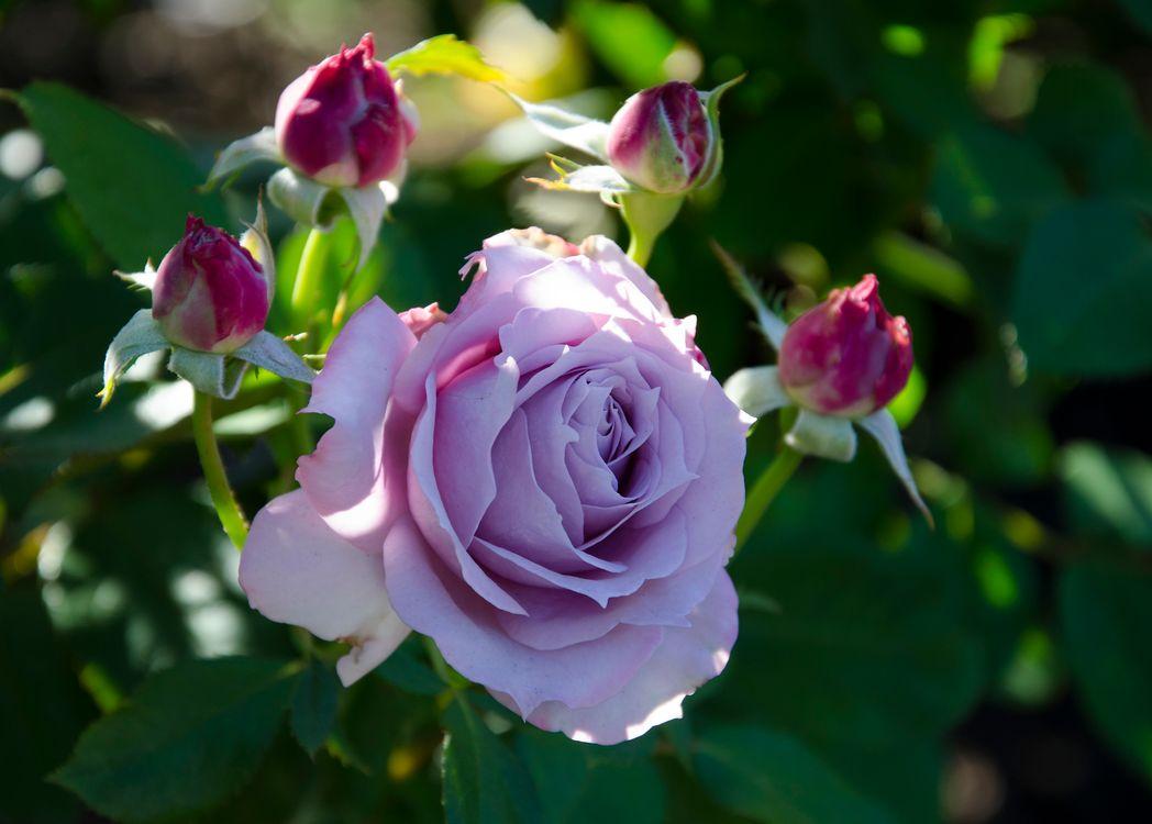 Фото бесплатно роза, розы, пурпурные розы, цветы, цветок, флора, цветы