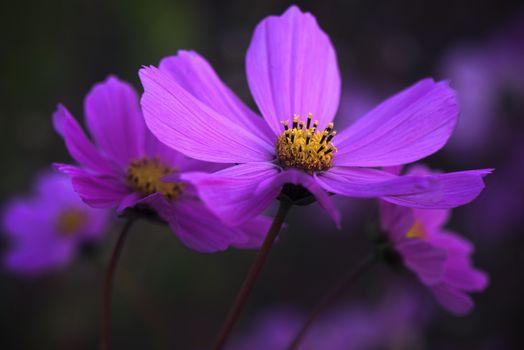 Фото бесплатно Цветы, Космея, космос