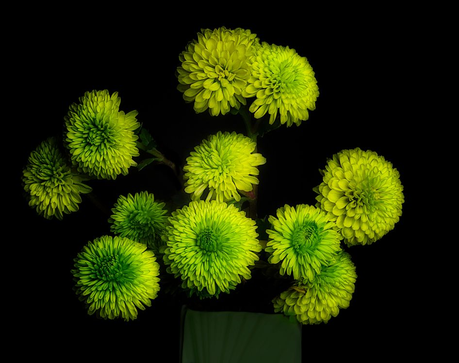 Фото бесплатно флоры, черный фон, хризантема - на рабочий стол