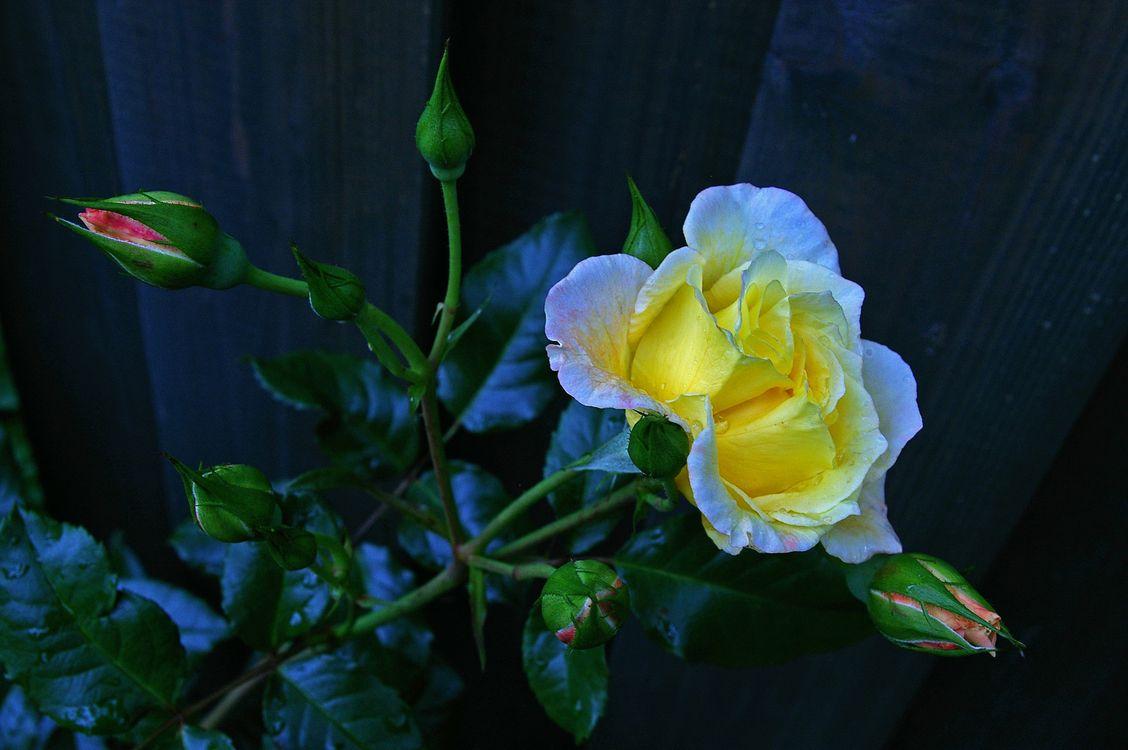 Обои Роза, цветение, ветка картинки на телефон