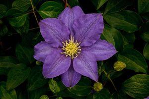Фото бесплатно Клематис, листья, цвет, фиолетовый, Клематисы, Clematis, цветок, цветы, флора