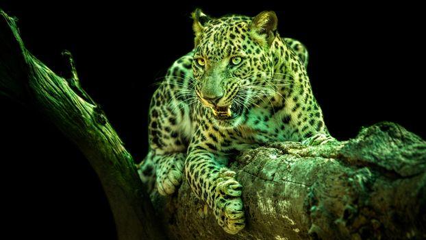 Фото бесплатно леопард, животное, хищник