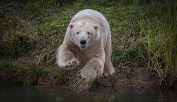 Заставки белый медведь, полярный медведь, животное