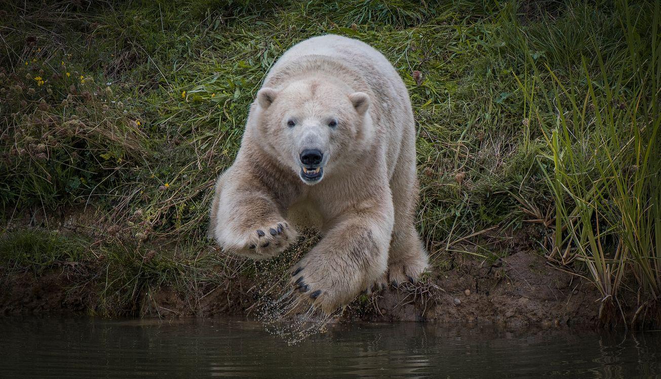 Фото бесплатно белый медведь, полярный медведь, животное - на рабочий стол
